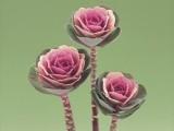 Brassica Oleracea Crane - Pink