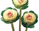 Brassica Oleracea Lucir - White