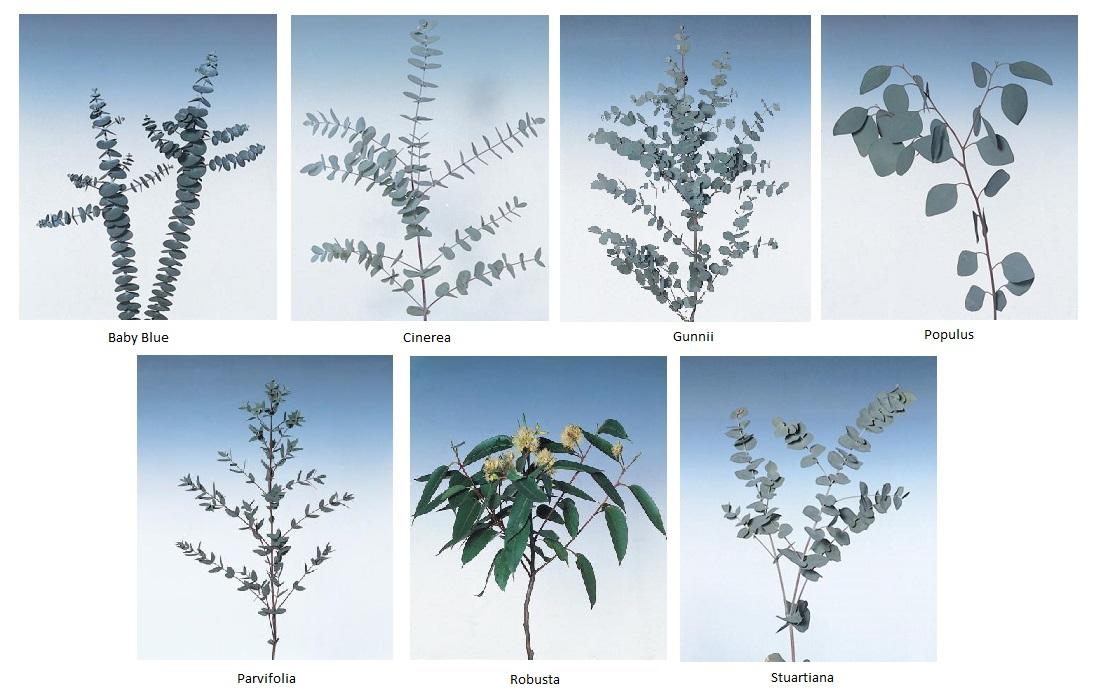 Notas sobre eucaliptus bulbos - Informacion sobre el eucalipto ...