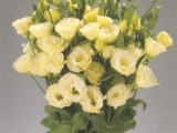 Lisianthus Advantage - Yellow