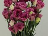 Lisianthus Excalibur - Rose Pink