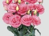 Lisianthus Mariachi - Pink