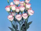 Lisianthus Piccolo - Pink Rim