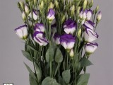 Lisianthus Vulcan - Purple Picotee