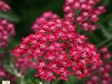 Achilea Millefolium Cerise Queen