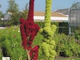 Amaranthus Tower - Green - Red