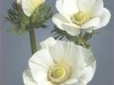 Anemona Galilee - White