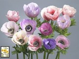 Anemona Galilee - Pastel