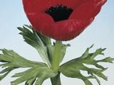 Anemone Jerusalem - Red