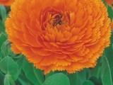 Calendula Star - Orange