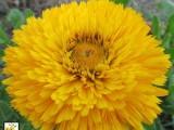 Calendula Faron - Yellow