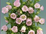Campanula Muse - Pink