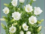 Campanula Muse - White