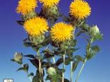 Carthamus Lasting - Yellow