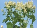 Celosia Celway - White
