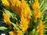 Celosia Century - Yellow