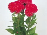 Celosia Chief - Rose