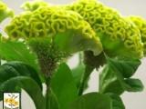 Celosia Spring - Green