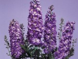 Delphinium Magic Fountains - Lavender with white bee