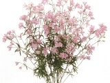 Delphinium Super - Happy Pink