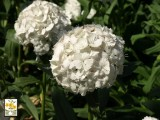 Dianthus - Bianco Poggio