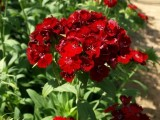 Dianthus - Rosso Pino