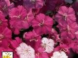 Dianthus Seeds - Rose Magic