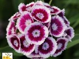 Dianthus Seeds - Purple white bicolor