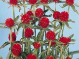 Gomphrena Haag Red