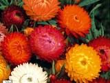 Helicrysum Monstrosum Mix