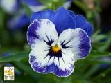 Pensamientos Sorbet  -  Delft Blue