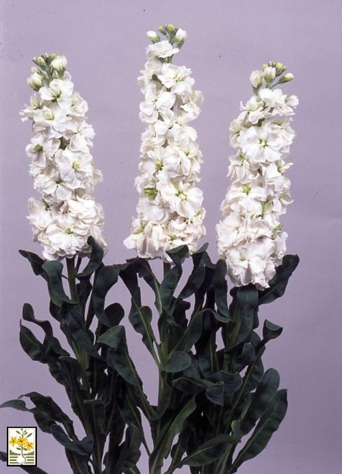 ALELHI-KAORY-Super-White