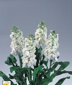 Cultivo de Alhelí en invernadero para flor cortada