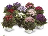 Cineraria Star Wars