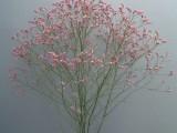 Limonium Sinensis Pink