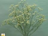 Limonium Sinensis White