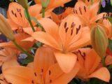 Orange Tycon