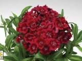 Dianthus Diabunda Red