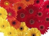 Gerbera Festival Fall Harvest Mix