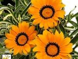 Gazania variagated Naranja