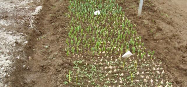Tulipanes a 5º C.  Iª Parte