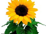Helianthus Trilly