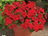 Impatiens Accent Premium Red