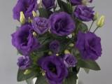 Lisianthus Rosie Lavender Blue