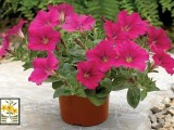 Petunia Pendula Easy Wave Neo Rose