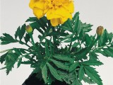 Tagetes Hero Gold