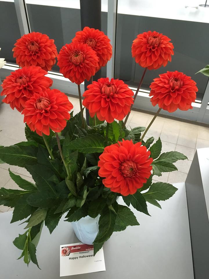 Dahlia Bulbos Perenne Balc/ón Charm Plantas de moda Impresionantes Corms,1 bombilla Dahlia