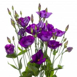 Lisianthus Caesar Violet Summer