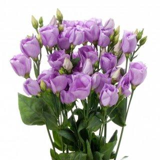 Lisianthus Carice Lavender