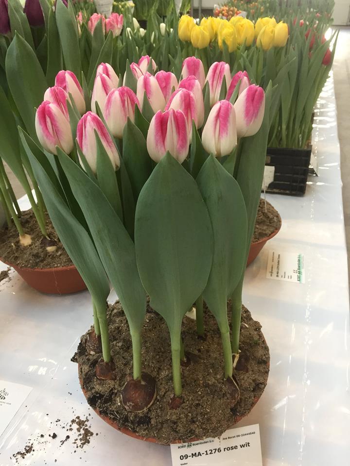 09-ma-1276' de borst bloembollen bv primer premio corte tulipán en